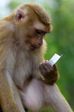 Young macaca monkey sitting on stone playing with somthing in his hands. Stock Images