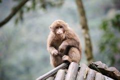 Young macaca mulatta Royalty Free Stock Image