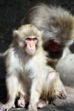 Young Macaque Stock Images