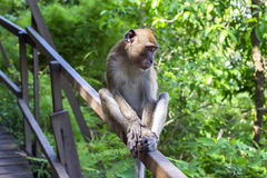 Young Macaque. Stock Images