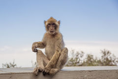 A young macaque on the Gibraltar rock. Royalty Free Stock Images