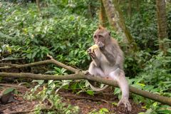 Young macaque monkey eatink a piece of fruit. Crab-eating macaque also known as Long-tailed macaque in Ubud Monkey Forest, Bali Stock Photo