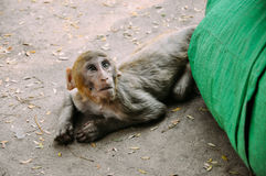 A young Macaque monkey laying down near Mount Popa. Royalty Free Stock Images