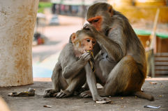 2 young Macaque monkeys grooming near Mount Popa. 2 young Macaque monkeys grooming near Mount Popa, Myanmar Royalty Free Stock Photos
