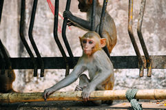 2 young Macaque monkeys sitting near Mount Popa. 2 young Macaque monkeys sitting near Mount Popa, Myanmar Royalty Free Stock Photography