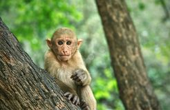 Young macaque sitting on a tree and looking at camera : Closeup stock photography