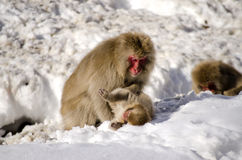 Young Macaque Snow Monkeys. Macaque Snow Monkeys playing in the snow Stock Image
