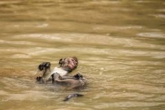 A young macaque swims on it`s back in a pool of water left behind at low tide on the beach at Bako National Park, Borneo stock photos