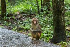 Young macaque in Zhangjiajie national park, Stock Image