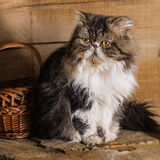 Young magnificent cat of the Persian breed near a basket against the background of in style a rustic. Young magnificent cat of the Persian breed near a wattled stock photo
