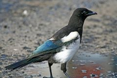 Young magpie. Young magpie standing in a pool and looking afar Stock Photography