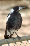 Young Magpie Stock Image
