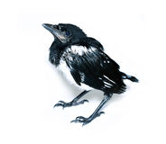 Young magpie chick isolated royalty free stock photography