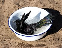 Young Magpie likes to take a refreshing bath. Stock Photography