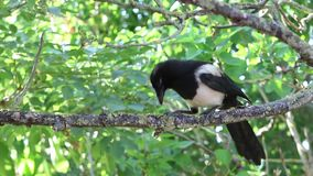 Young Magpie is sitting in a tree. stock video footage