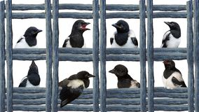 Young Magpies in different expressions. stock image