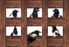 Young Magpies in different expressions. royalty free stock photos