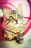 Young Maine coon cat. Young adult Maine coon cat sitting in pink play tunnel Stock Image