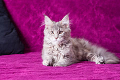 Young Maine Coon cat Royalty Free Stock Photography