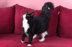 Young Maine coon female Stock Photo