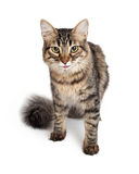 Young Maine Coon Tabby Cat Stock Photo