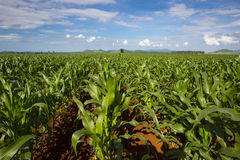 Young maize crop Stock Photo
