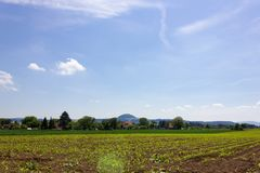 young maize field under blue sky stock image