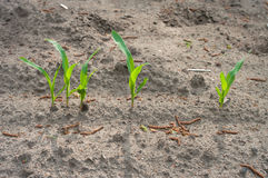 Young maize plants Royalty Free Stock Photography