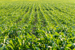 Young maize plants in an agricultural field Stock Photo