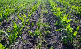 Young Maize plants on a field. Maize crop: rows of young Maize plants on a field, some weeds growing between the rows stock images