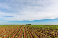 Young maize Royalty Free Stock Photography