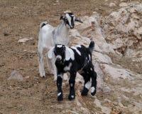 Young Majorera goats native to Fuerteventura Royalty Free Stock Photos
