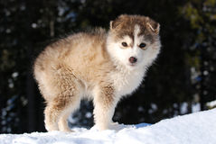 Young Malamute Puppy. Standing on snow with tree background Stock Image