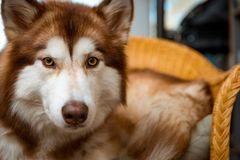 Malamute relaxing on her Chair stock photography