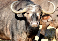 Young male African Buffalo looking at the camera Stock Photos