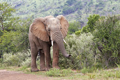 Young male African elephant feeding stock photos