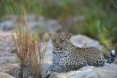 Young Male African Leopard. Relaxing on side of the river Royalty Free Stock Image