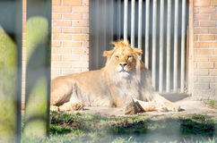 Young Male African Lion Laying Down Sunbathing at the Bars of hi Royalty Free Stock Image