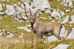 Young male alpine ibex Royalty Free Stock Image