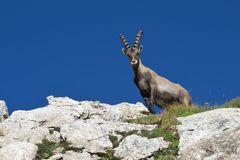 Young male alpine ibex looking down Stock Image