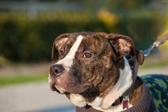 Young male american staffordshire terrier (Amstaff) Royalty Free Stock Image