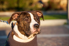 Young male american staffordshire terrier (Amstaff) Stock Photos