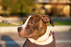 Young male american staffordshire terrier (Amstaff) Royalty Free Stock Photos