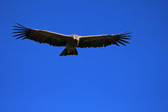 Young male andean condor flying close Royalty Free Stock Photography