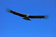 Young male andean condor flying close Stock Images
