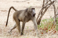 Young male baboon Stock Photography