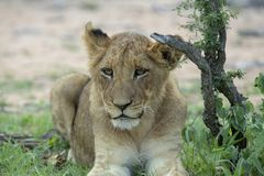 A young lion cub resting under the shade of a small tree stock photo