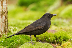 A young male Blackbird at the top spot Royalty Free Stock Photography