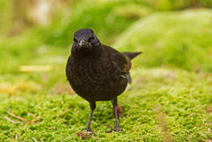 A young male Blackbird at the top spot Stock Photo