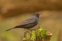 A young male Blackbird at the top spot Stock Photography